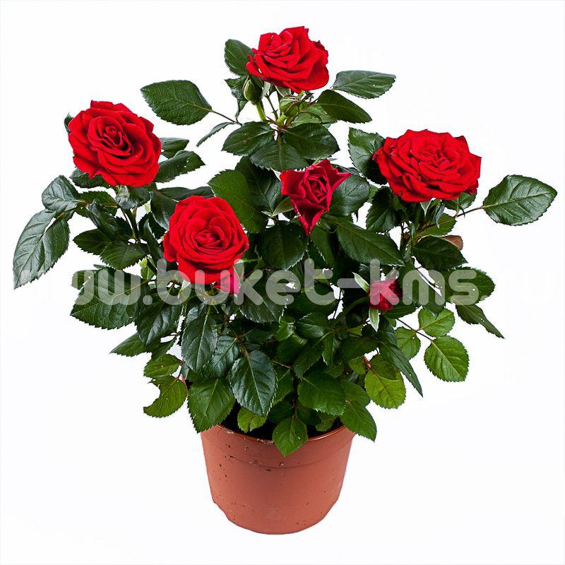 Как ухаживать роза патио домашний условия