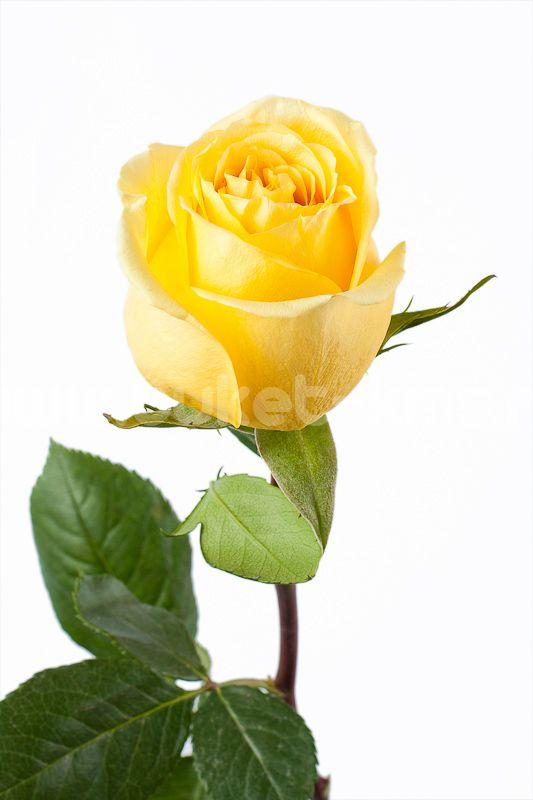"""Роза """"Хаммер"""""""