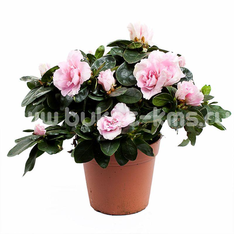 Азалия Розовая